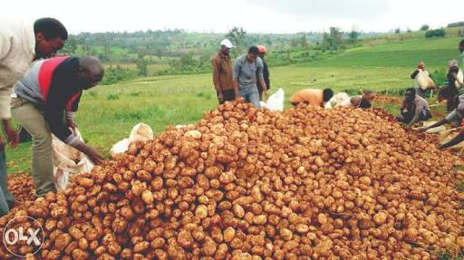 Potato Business
